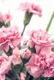 Rosen-Gartennelke stockfotografie