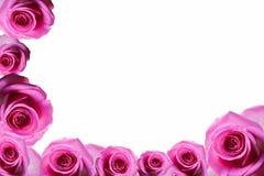 Rosen-Hintergrund beautifu Rosa, rote Rose lokalisiert auf weißem Hintergrund stockfoto