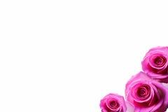 Rosen-Hintergrund beautifu Rosa, rote Rose lokalisiert auf weißem Hintergrund lizenzfreie stockfotografie