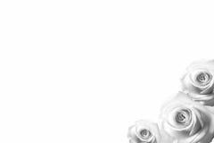 Rosen-Hintergrund beautifu Rosa, rote Rose lokalisiert auf weißem Hintergrundschwarzweiß lizenzfreie stockfotos
