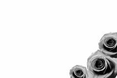 Rosen-Hintergrund beautifu Rosa, rote Rose lokalisiert auf weißem Hintergrundschwarzweiß stockfotografie