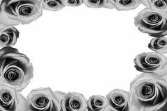 Rosen-Hintergrund beautifu Rosa, rote Rose lokalisiert auf weißem Hintergrundschwarzweiß stockbilder