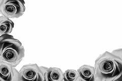 Rosen-Hintergrund beautifu Rosa, rote Rose lokalisiert auf weißem Hintergrundschwarzweiß lizenzfreies stockbild
