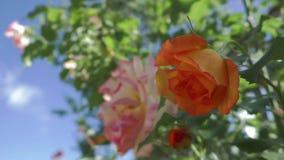 Rosen i trädgården svänger i vinden arkivfilmer