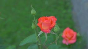 Rosen i tr?dg?rden lager videofilmer