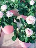 Rosen im Blumentopf Lizenzfreie Stockfotos