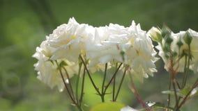 Rosen im Garten stock video
