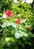 Rosen im Garten stockbild