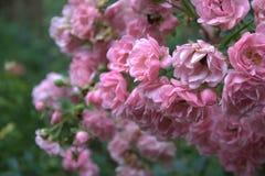 Rosen im Garten Lizenzfreie Stockfotografie