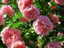 Rosen im Garten Stockbilder