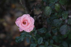 Rosen im Garten auf Herbst Stockfoto