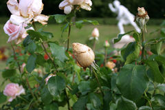 Rosen im parc Stockfotos