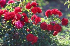 Rosen im Park Lizenzfreies Stockbild