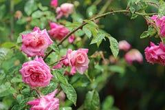 Rosen im Regen Lizenzfreies Stockfoto