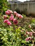 Rosen im Sommer lizenzfreie stockfotografie