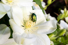 Rosen-Käfer auf Klematisblume Stockbilder