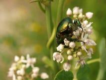 Rosen-Käfer auf weißer Blume Stockfotografie