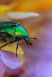 Rosen-Käfer (Cetonia aurata) stockbild