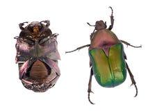 Rosen-Käfer, Cetonia aurata, lokalisiert auf weißem Hintergrund Schöner schillernder Käfer Spitze und Unterseite lizenzfreie stockfotografie
