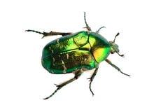 Rosen-Käfer getrennt auf weißem Hintergrund Lizenzfreie Stockbilder