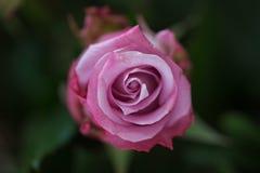Rosen-Knospen auf dem rosebush Stockfotos