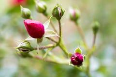 Rosen-Knospen im Garten stockfotos