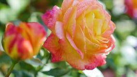 Rosen-Knospenabschluß oben nach Regen Stockbild