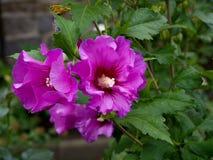 Rosen-Malve, Hibiscus, mit glänzenden violetten Blumen Lizenzfreie Stockbilder