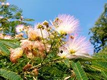 Rosen-Mimose unter blauem Himmel lizenzfreie stockfotos