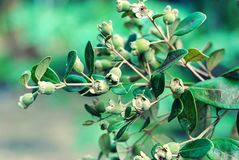 Rosen-Myrte oder Hügelstachelbeere stockfoto