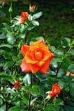 Rosen-Orange auf dem Blumenbeet Lizenzfreie Stockbilder