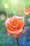 Rosen-Orange mit den Knospen im Sonnenlicht Lizenzfreies Stockbild