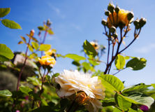 Rosen pflanzen im Frühjahr Garten Lizenzfreies Stockbild