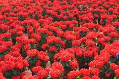 Rosen-Poinsettia-Blumen Lizenzfreie Stockfotos