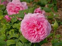 Rosen Rosa-'Schönheitsdes Calais stockfotos