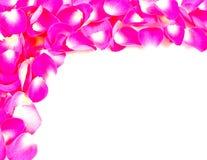 Rosen-Rosa-Blumenblätter und weißer Platz stockbild