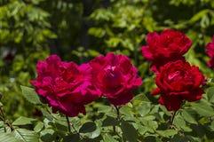 Rosen, Rosen für den Tag der Liebe, die wunderbarsten natürlichen Rosen passend für Webdesign, Liebessymbolrosen Stockfotos