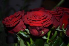Rosen rot lizenzfreie stockfotos