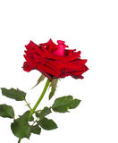 Rosen-Rot lokalisiert auf weißem Hintergrund Lizenzfreie Stockfotografie