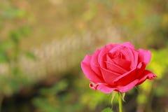 Rosen-Rotblumen Stockbild