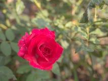 Rosen, rote Rosen, Büsche im Garten Lizenzfreie Stockfotos