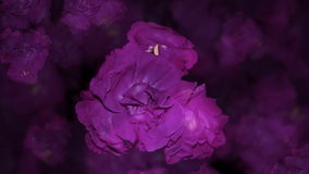 Rosen sind blau stock footage