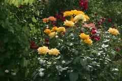 Rosen sind der Garten und blühen lizenzfreie stockfotos