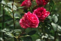 Rosen sind der Garten und blühen lizenzfreie stockbilder