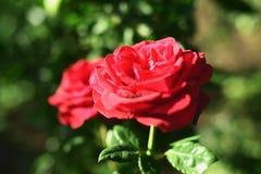 Rosen sind der Garten und blühen stockfoto
