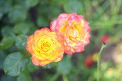 Rosen sind der Garten und blühen stockfotografie