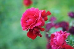 Rosen sind der Garten und blühen stockbilder