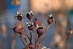 Rosen sind eine Heckenrose geworden lizenzfreie stockbilder