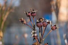 Rosen sind eine Heckenrose geworden stockfotografie