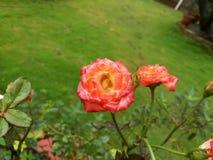 Rosen sind rosafarben Stockbilder